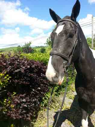 Q Horses For Sale Charley - P Q Sport Ho...